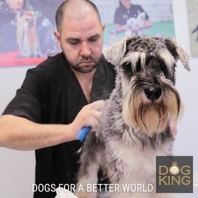 haciendo stripping a schnauzer