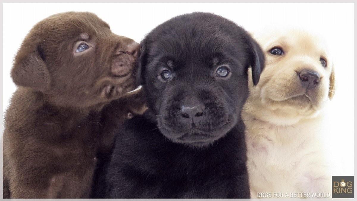 Comprar cachorro Labrador | Criadero DOGKING