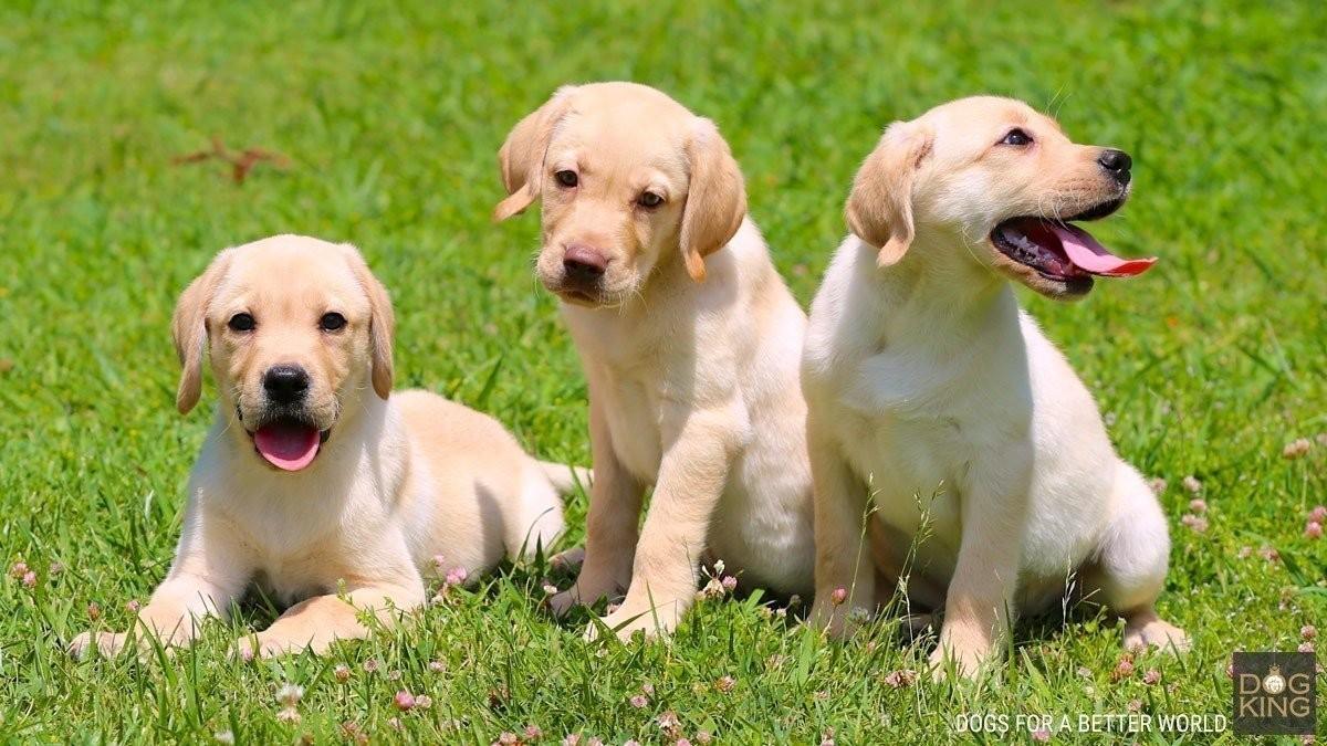 Imagenes De Cachorros Labradores Comprar Cachorro Labrador